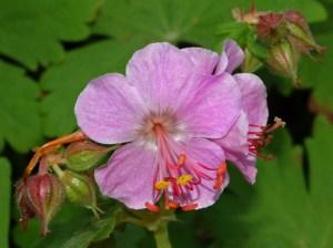 Geraniaceae_-_Geranium_caespitosum_var_fremontii-1