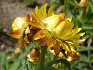 Helichrysum_bracteatum_2